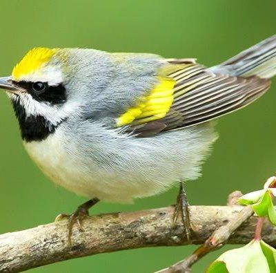 Finding Back The Way To Save Golden-winged Warbler